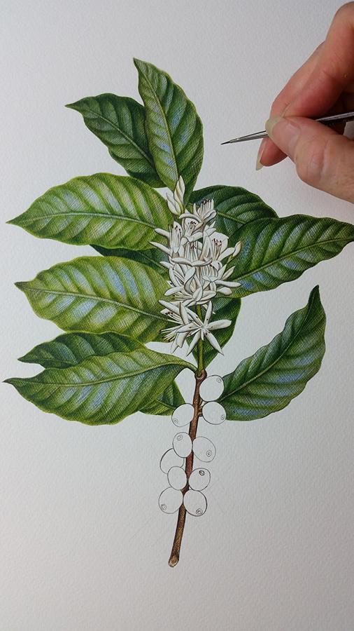 Coffee flowers_Botanical Illustration_heidi willis