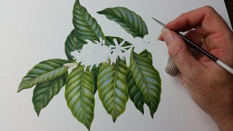 Coffee_Botanical Illustration_Heidi Willis