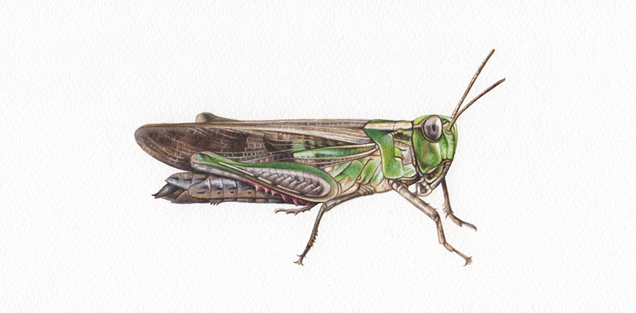 Heidi Willis_Artist_Grasshopper illustration_watercolour_illustrator_insect