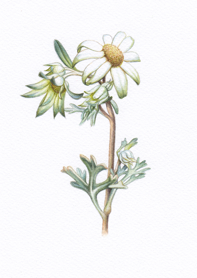 Heidi Willis_Flannel Flowers_botanical illustration_artist_watercolour_wildflower
