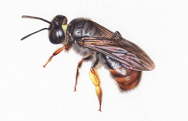 Heidi Willis_Reed Bee_artist_illustrator_watercolour_insects_natural history_sydney Parks