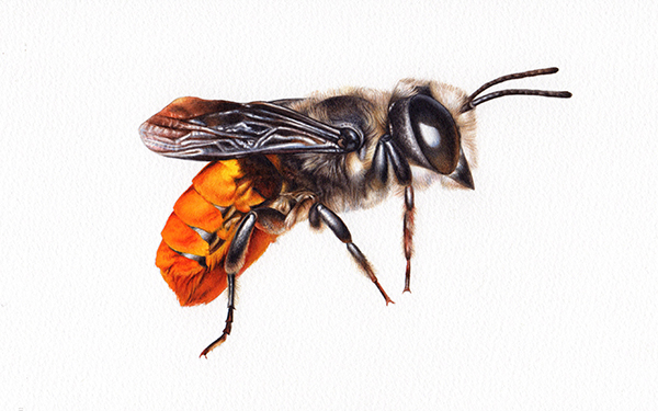 Heidi Willis_Resin Bee_Illustration_artist_watercolour_sydney Parks_natural history_insect painting