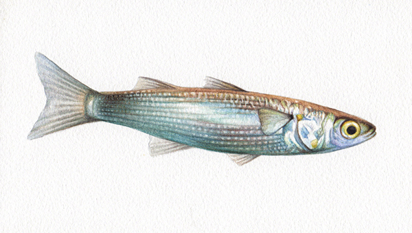 Heidi Willis_Sand Mullet_fish illustration_artist_natural history_watercolour