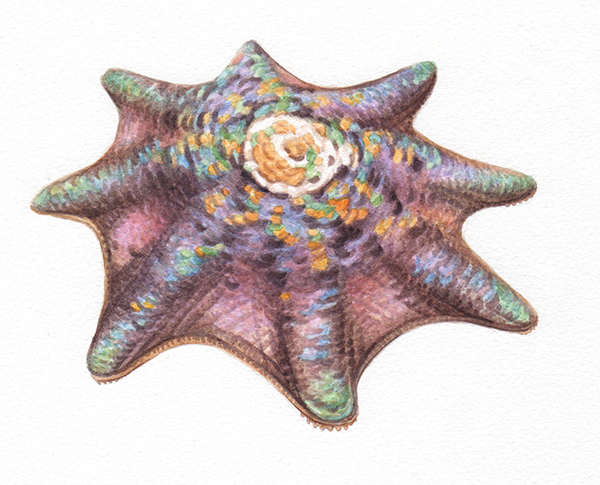 Heidi Willis_Starfish Illustration_watercolour
