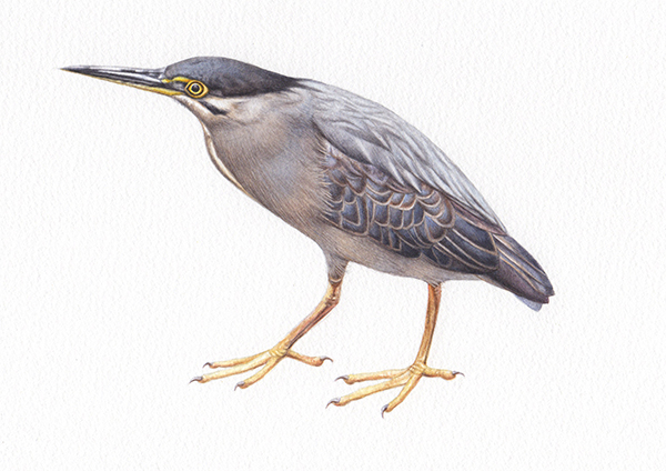 Heidi Willis_Striated Heron_artist_illustration_watercolour_bird painting