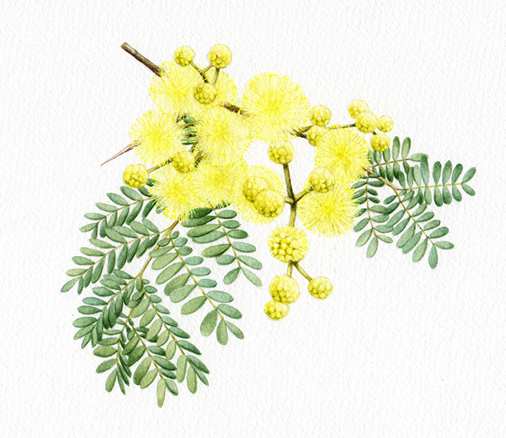 Heidi Willis_Wattle_illustration_watercolour_botanical artist