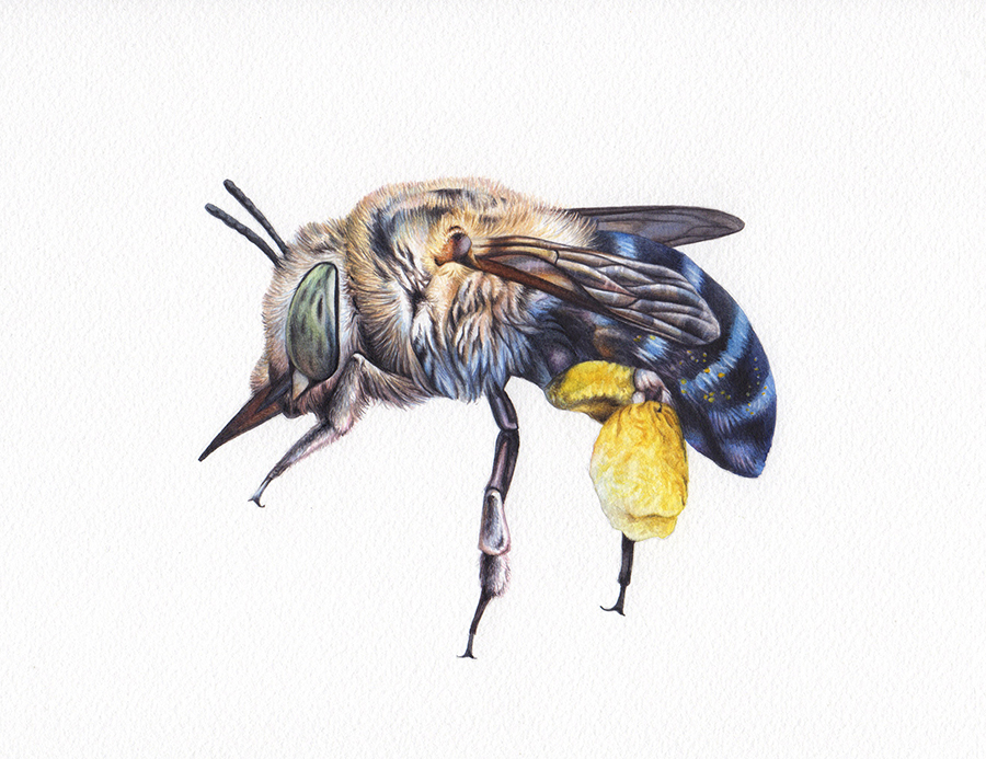Heidi Willis_blue banded bee_illustration_painting_artwork_watercolour_artist_insect painting