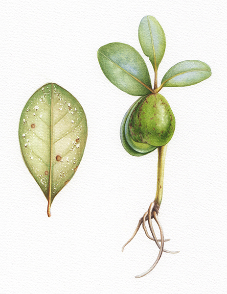 Heidi Willis_botanical artist_Mangrove illustration_watercolour