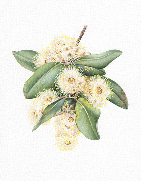 Heidi Willis_botanical artist_Terpentine illustration