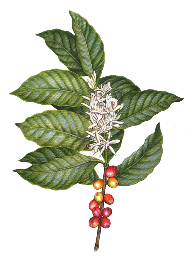 Heidi Willis_botanical artist_coffee_design copy