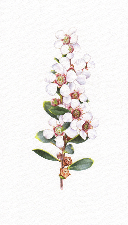 Heidi Willis_leptospernum_botanical illustration_artist_watercolour