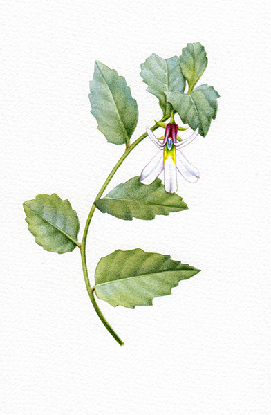 Heidi Willis_whiteroot_botanical illustration_artist