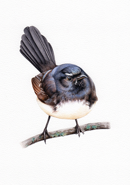 Willis_Willy Wagtail