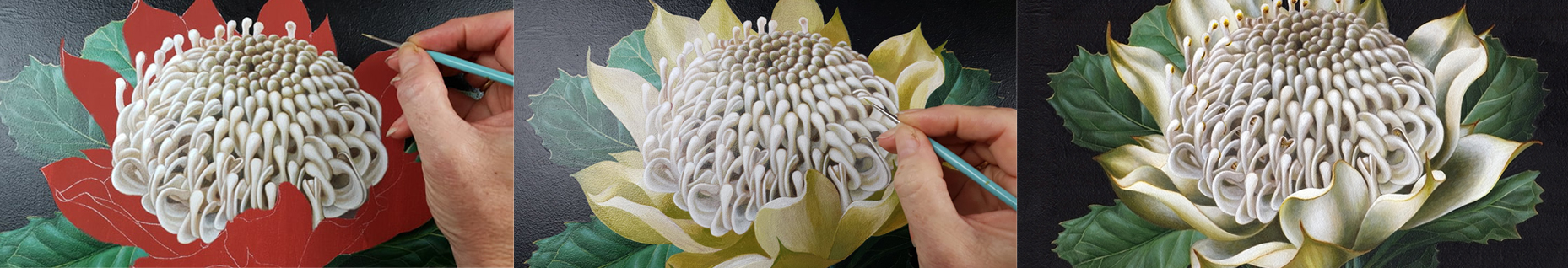 artist_White Waratah botanical illustration_Heidi Willis_Artist