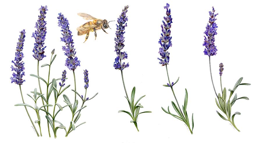 artist_heidi willis_artist_honey bee_lavender illustration_ashdene homewares