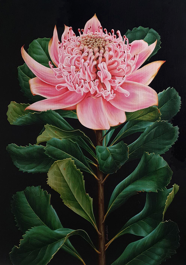 artist_heidi willis_waratah painting_botanical illustration