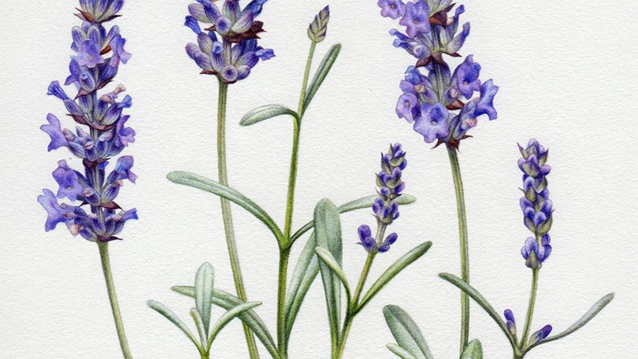 heidi willis_Artist_lavender illustration