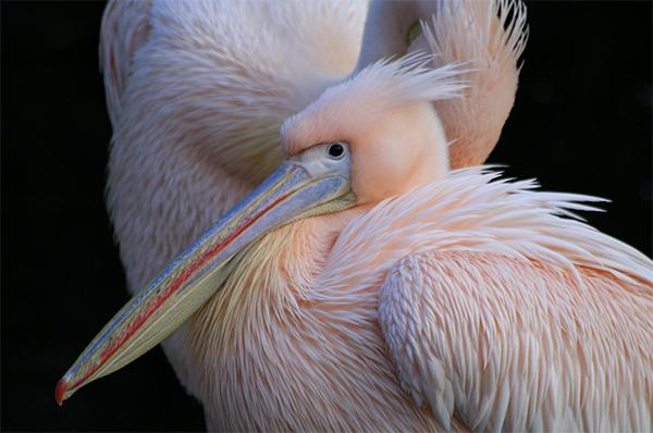 heidi willis_artist_bird painting_acrylics_pink pelican