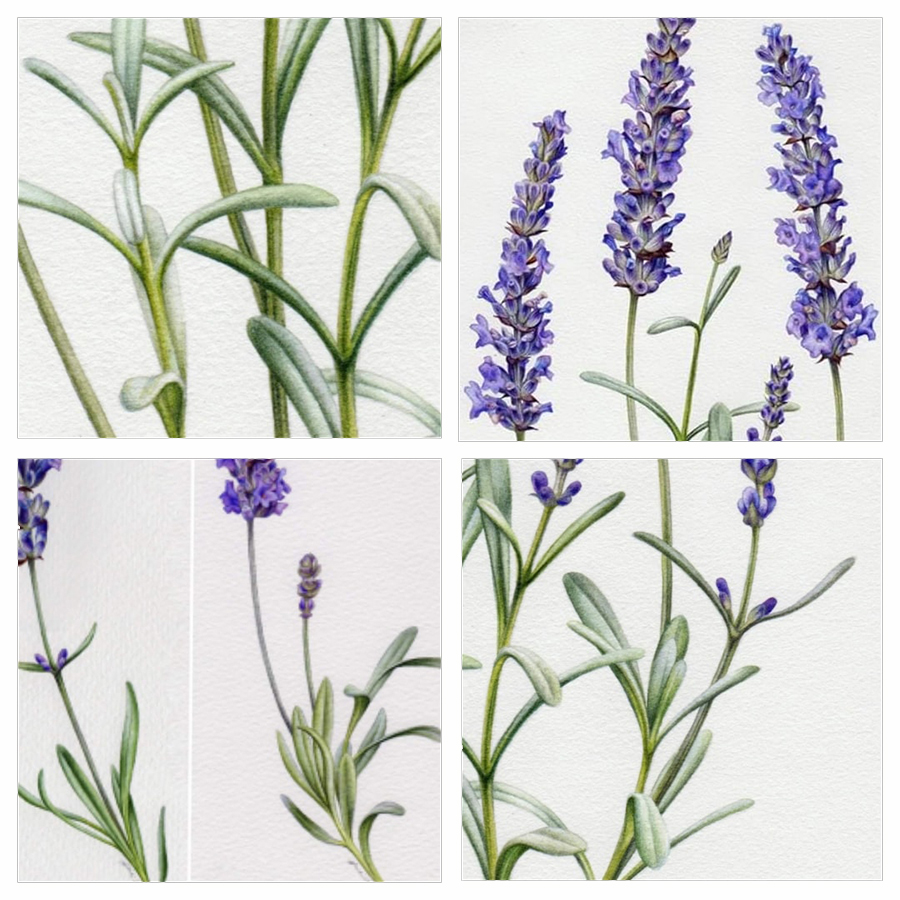 heidi willis_artist_botanical painting_lavender illustration