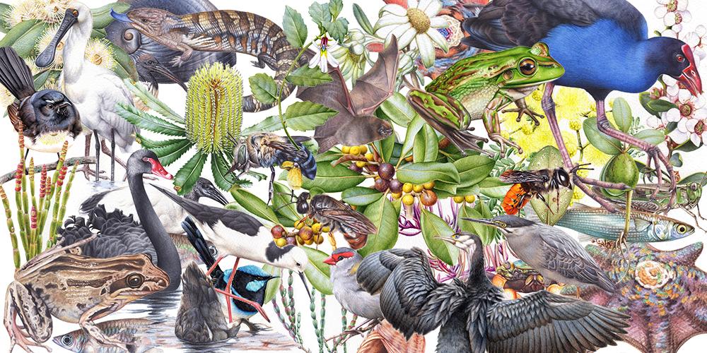 heidi willis_artist_illustrator_bird painting_natural history_watercolour