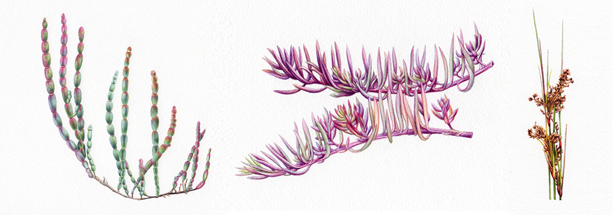 heidi willis_artist_illustrator_botanical art_watercolour