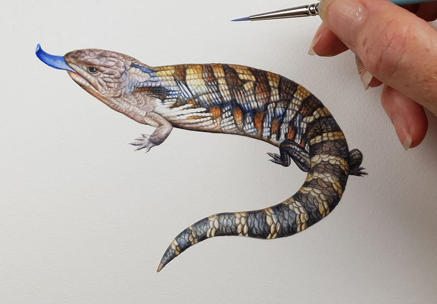 heidi willis_artist_watercolour_illustration_blue tongue lizard