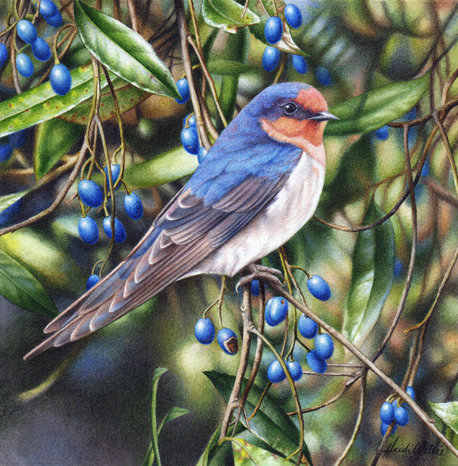 heidi willis_australian artist_welcome swallow_watercolour_bird painting