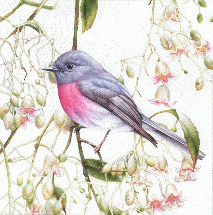 heidi willis_bird artist_rose robin painting_brachychiton