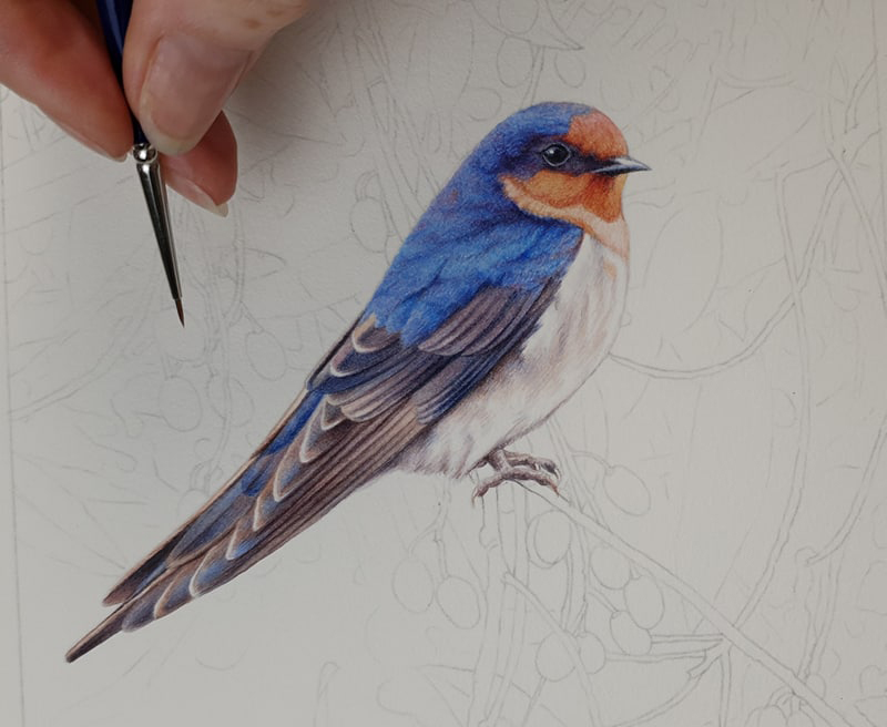 heidi willis_bird painting_artist_illustrator_bird painting_swallow_watercolour