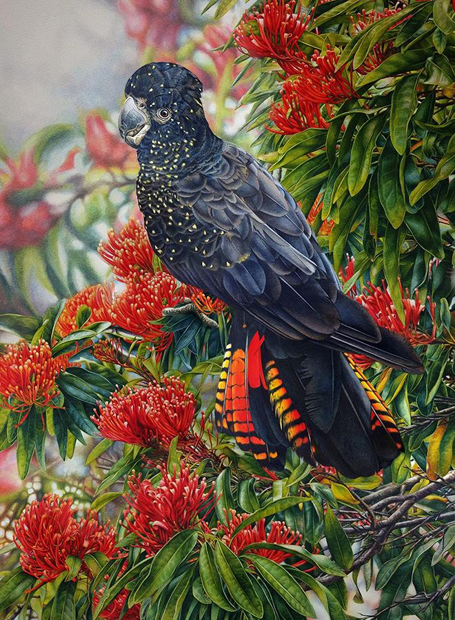 heidi willis_bird painting_watercolour_black cockatoo