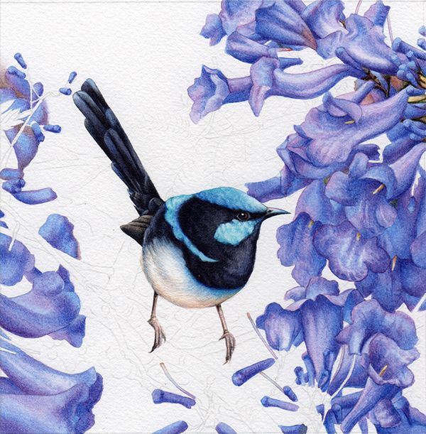 heidi willis_blue wren_jacaranda_watercolour