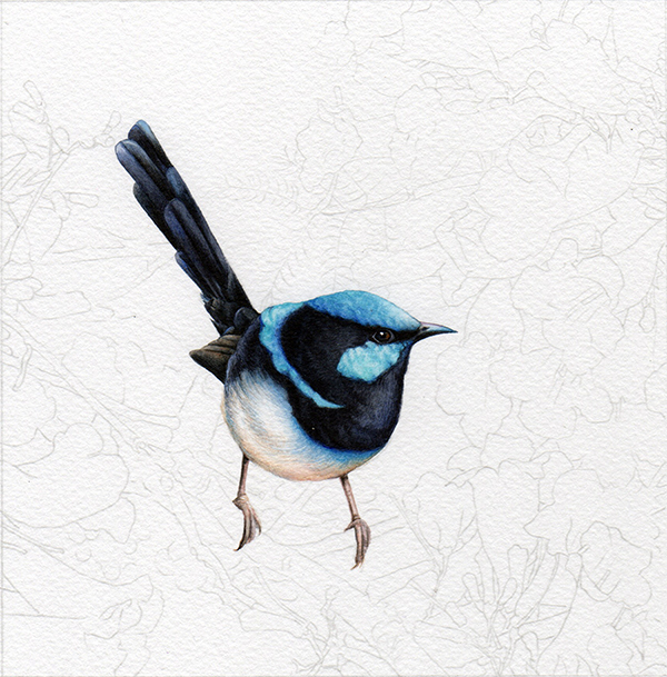 heidi willis_blue wren_jacaranda_watercolour_bird painting