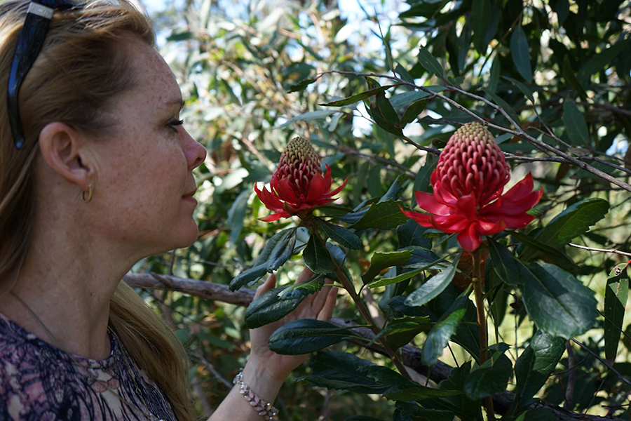 heidi willis_botanical artist_illustrator_waratah painting