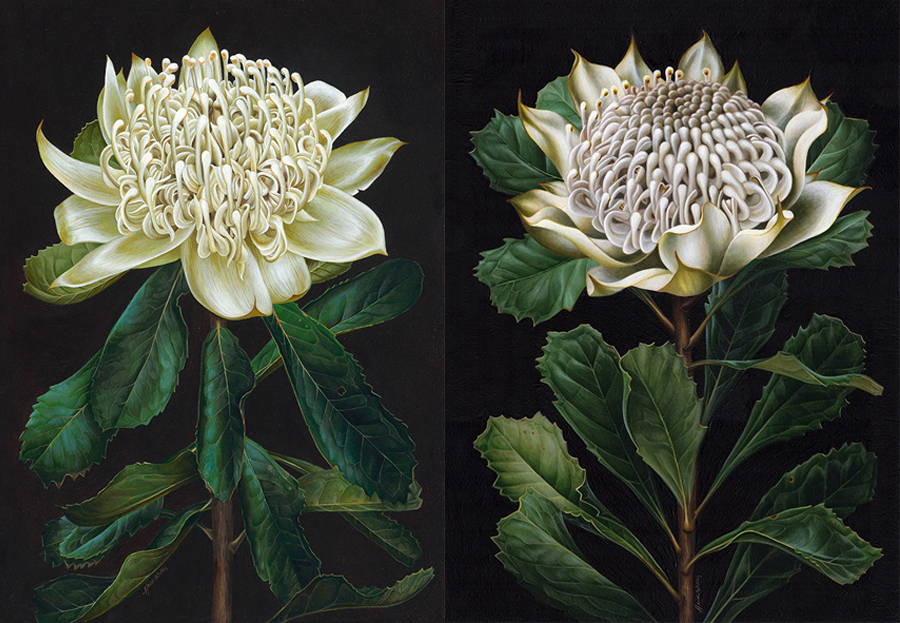 heidi willis_botanical artist_white waratah painting