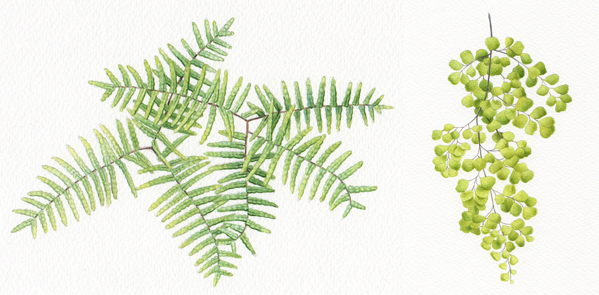 heidi willis_botanical illustration_ferns_watercolour artist