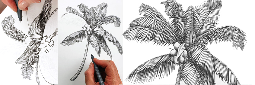heidi willis_botanical illustrator_australian natives illustrations_coconut