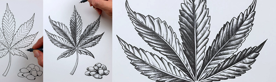 heidi willis_botanical illustrator_australian natives illustrations_hemp