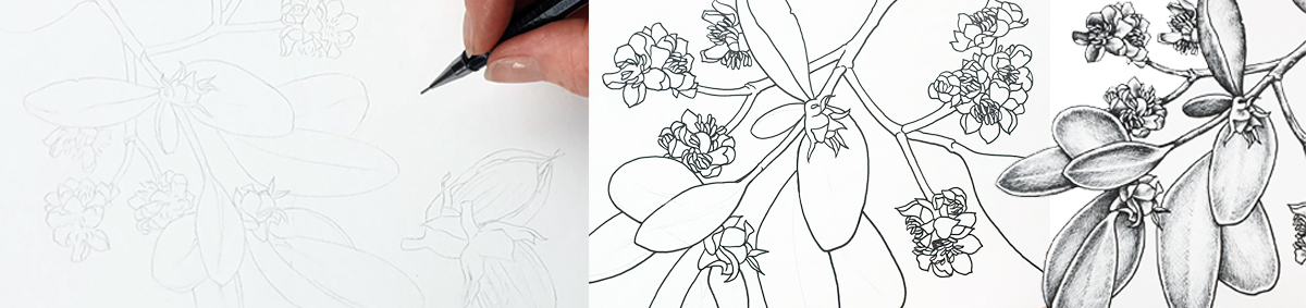 heidi willis_botanical illustrator_australian natives illustrations_jojoba