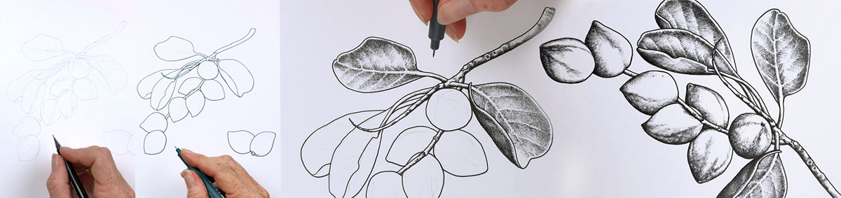 heidi willis_botanical illustrator_australian natives illustrations_kakadu plum