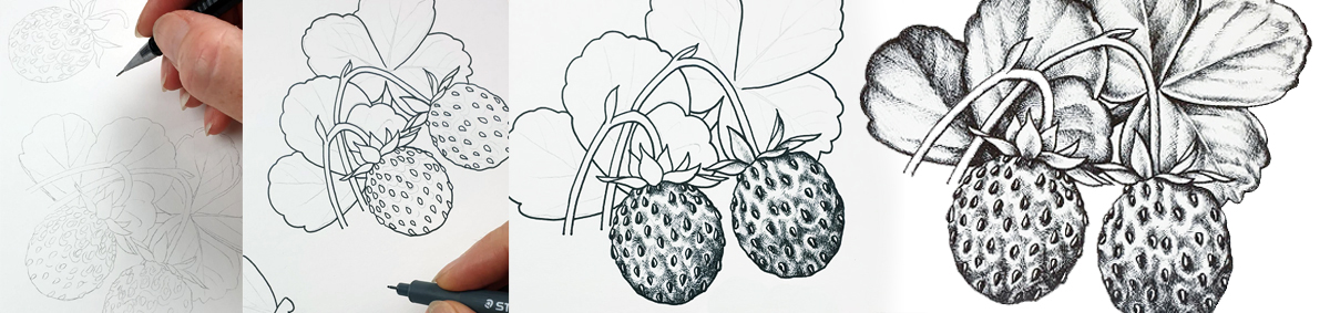 heidi willis_botanical illustrator_australian natives illustrations_strawberries