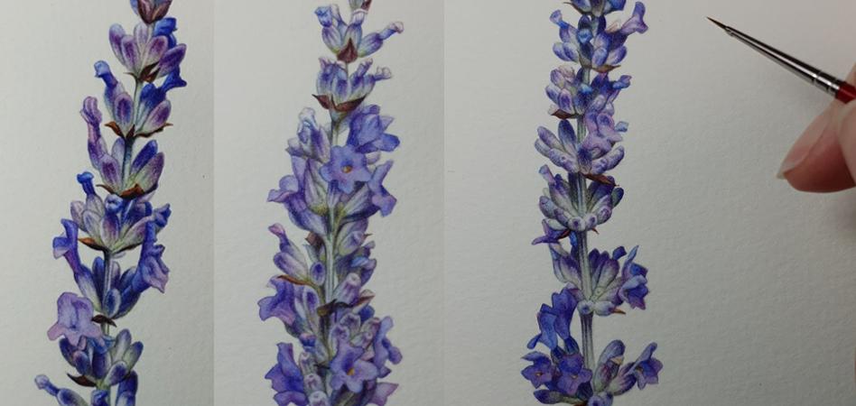 heidi willis_botanical painting_lavender illustration_watercolour_artist