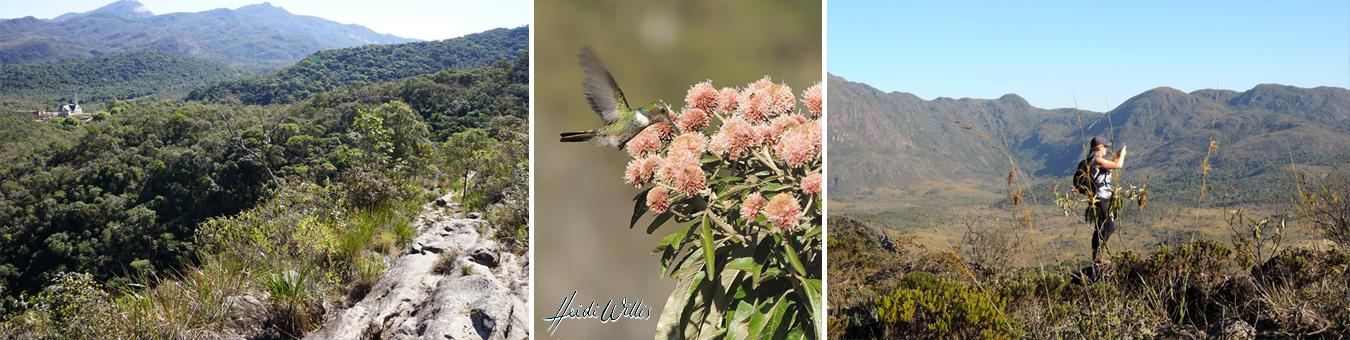 heidi willis_botanical_bird_painting_brazil