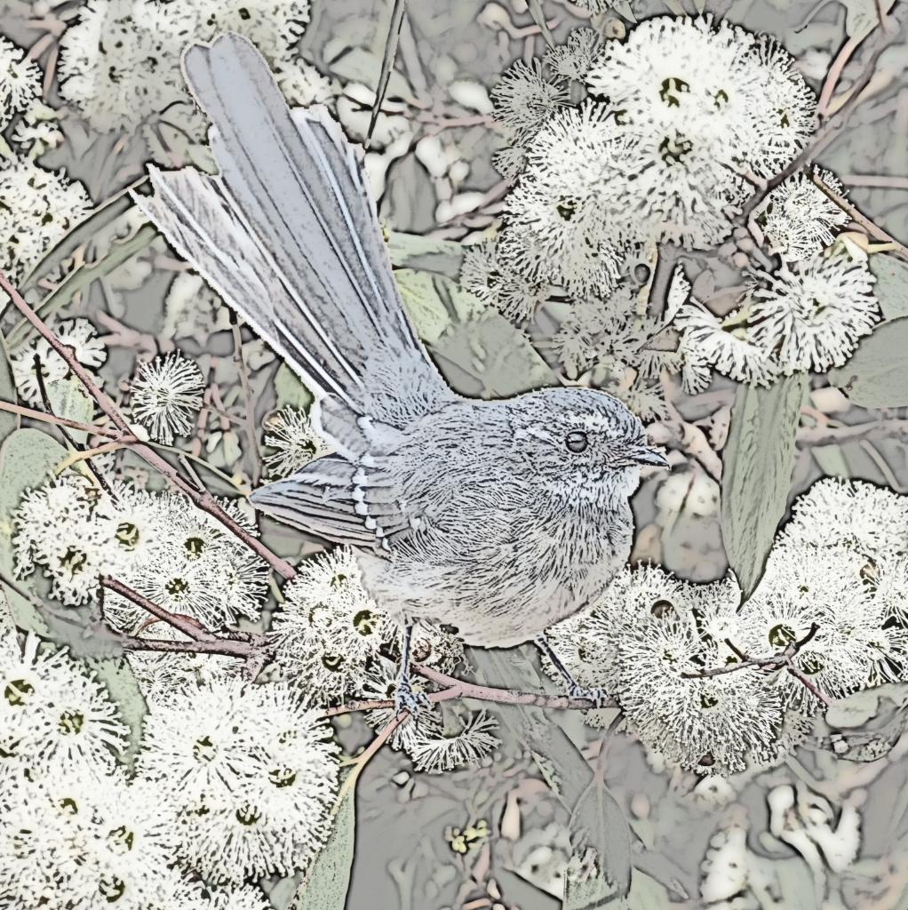 heidi willis_grey fantail_australian bird painting_drawing