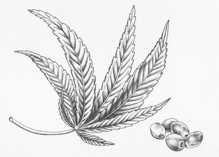 heidi willis_hemp_marajuana_ink_illustration_botanical art