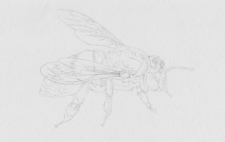 heidi willis_honey bee illustration_artist_insect painting_watercolour