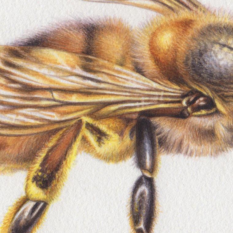 heidi willis_honey bee illustration_painting_watercolour