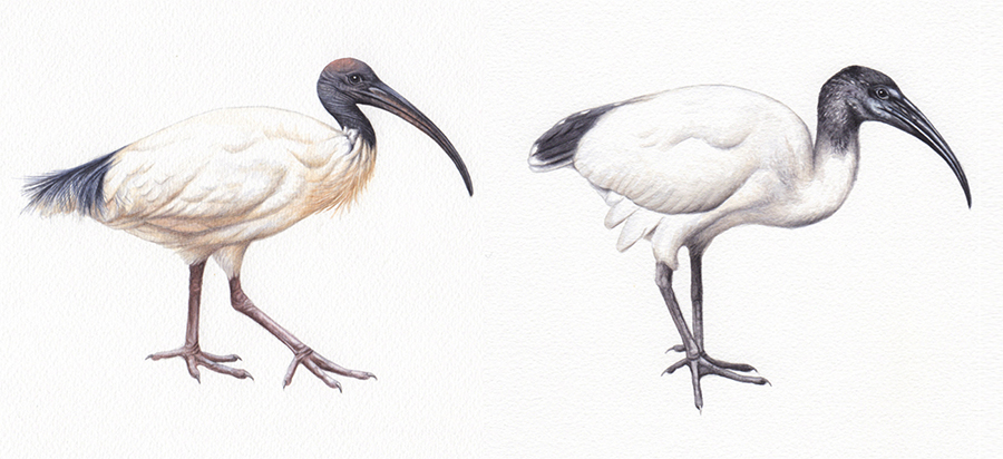 heidi willis_ibis illustration_bird painting_watercolour
