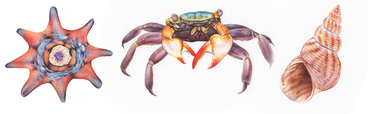 heidi willis_illustration_watercolour_shell_crab_starfis_painting
