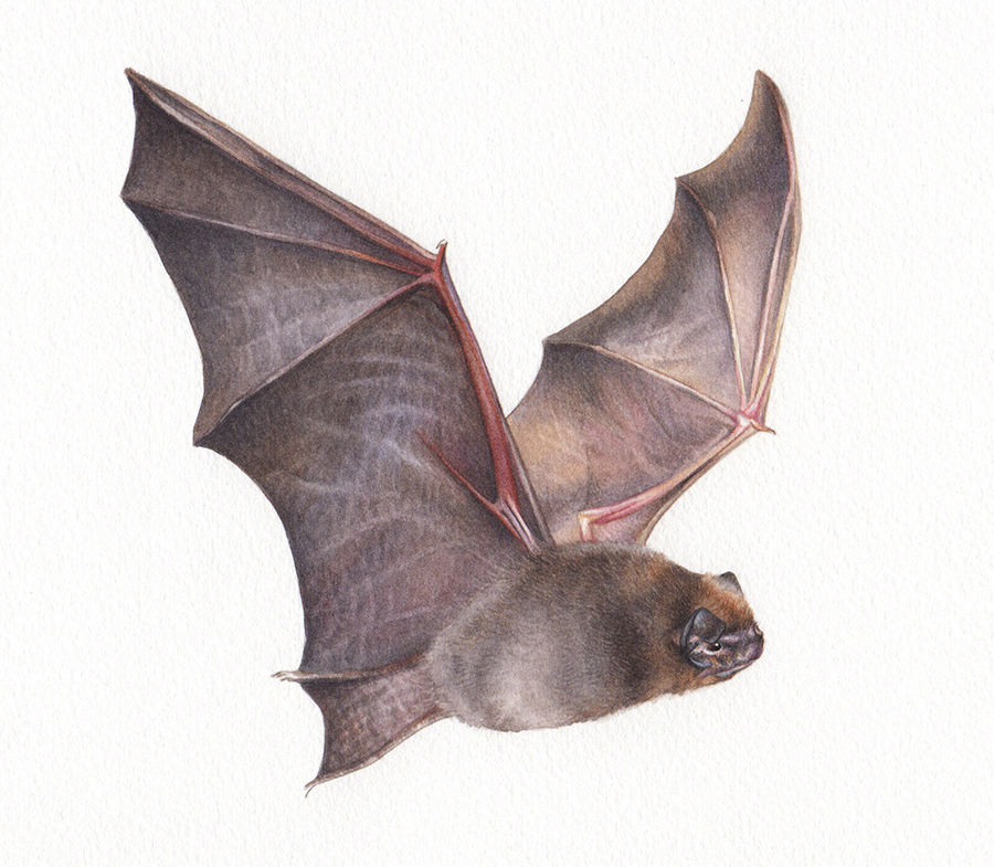 heidi willis_illustration_wildlife_artist_watercolour_bat