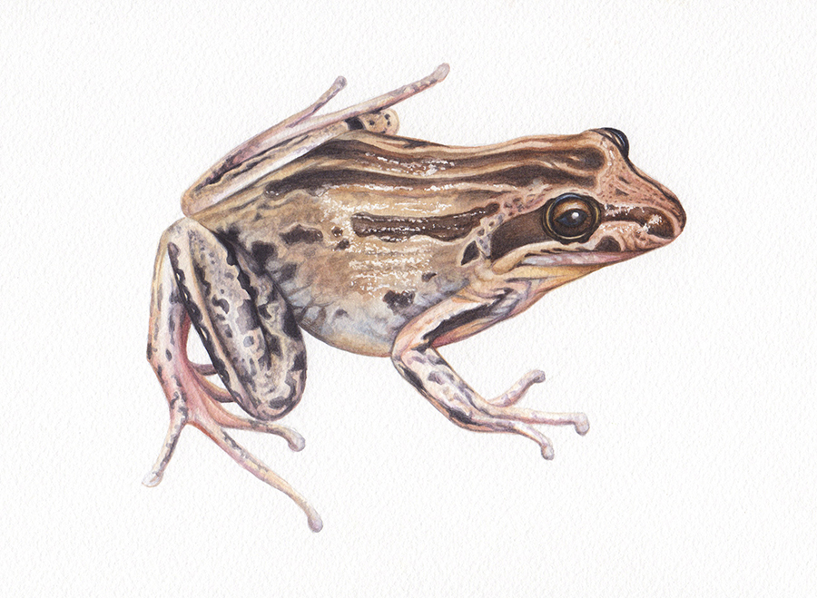 heidi willis_illustration_wildlife_artist_watercolour_frog